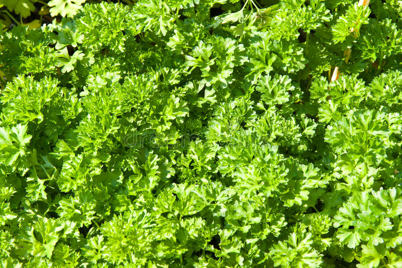 Download Parsley stock image. Image of ingredient, above, plant - 15207911