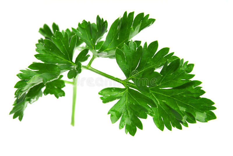Download Parsley stock image. Image of herb, parsley, kitchen, leaf - 2304243