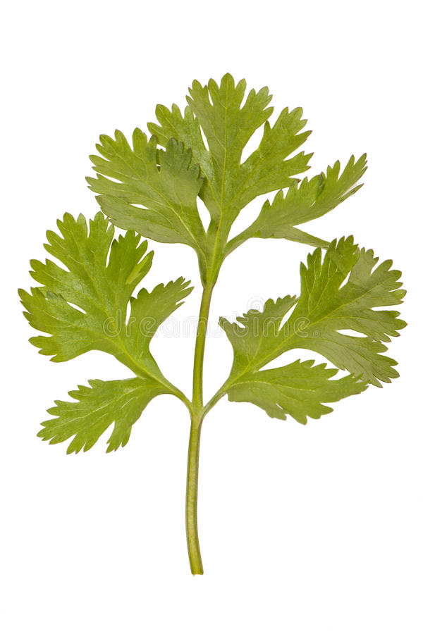 Download Parsley stock image. Image of closeup, health, herb, more - 25132535
