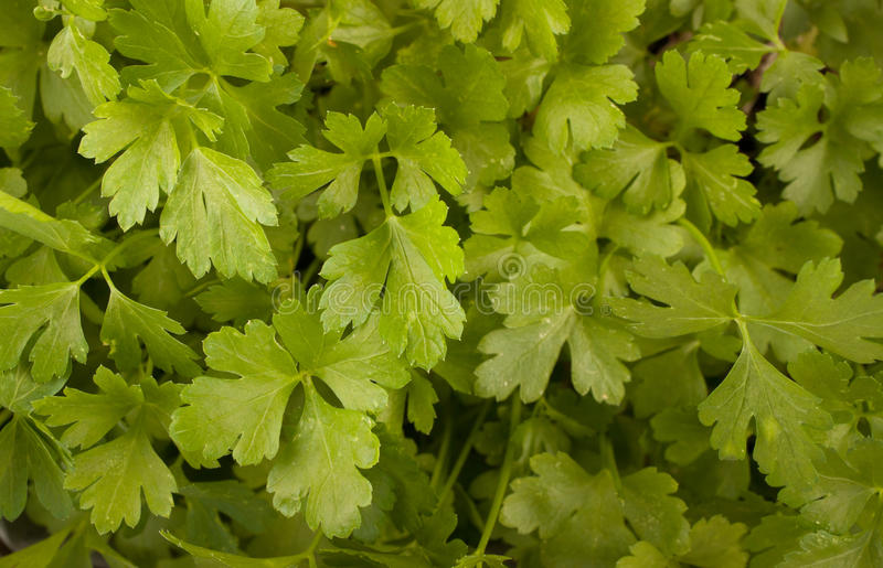 Parsley. Growing in a pot stock photos