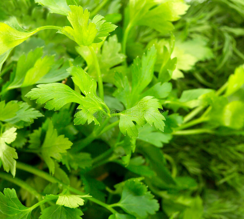Download Parsley stock image. Image of healthy, leaves, eating - 28423463