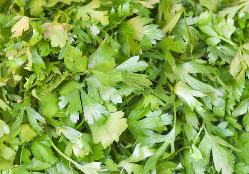 Download Parsley background stock image. Image of ingredient, parsley - 33975967