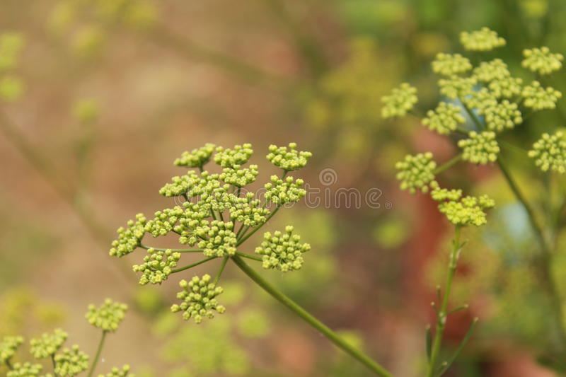 Parsley. Flowers in the garden royalty free stock photos