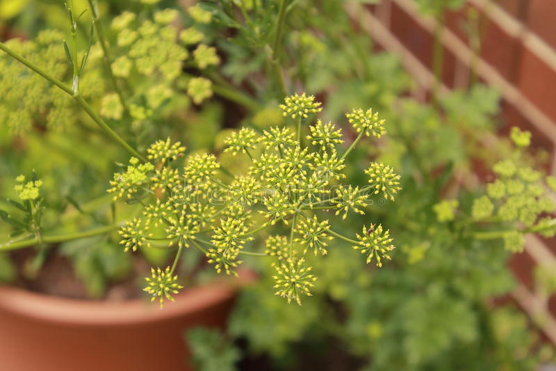 Parsley. Flowers in the garden stock photography