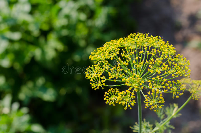 Parsley flowers in the garden stock images