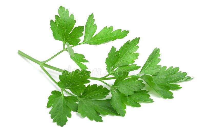 Parsley. Fresh parsley isolated on white background stock photography