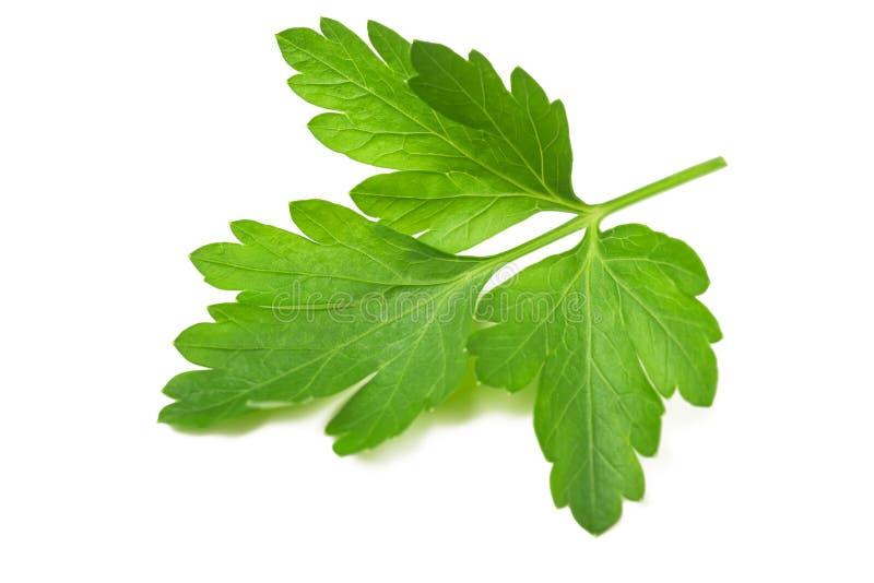 Parsley. Fresh parsley sprig isolated on white background royalty free stock image