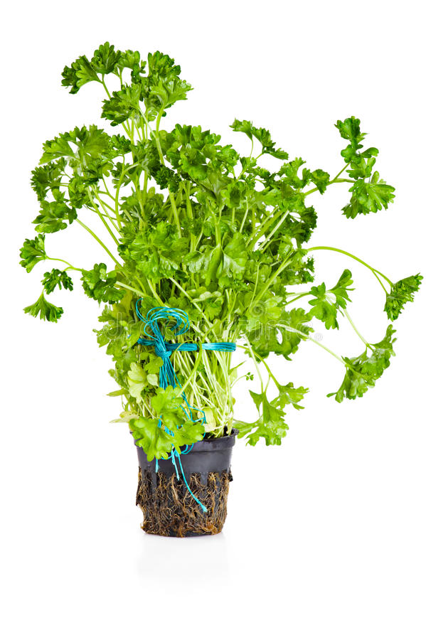 Download Parsley growing in pot stock image. Image of meal, fresh - 17930223