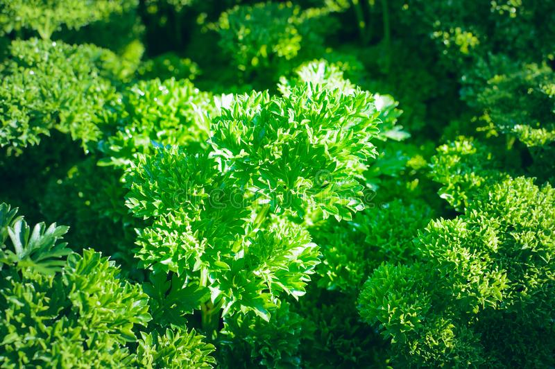 Parsley grows on the bed. Close-up stock photo