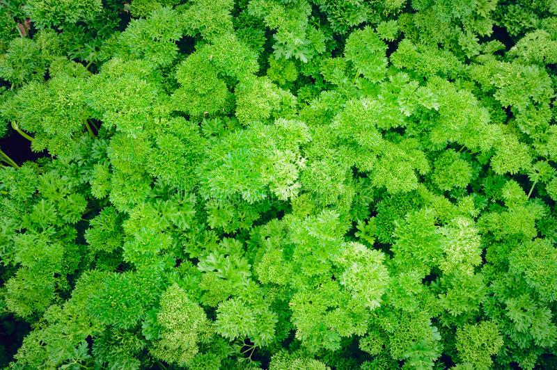 Parsley grows on the bed. Close-up stock photography