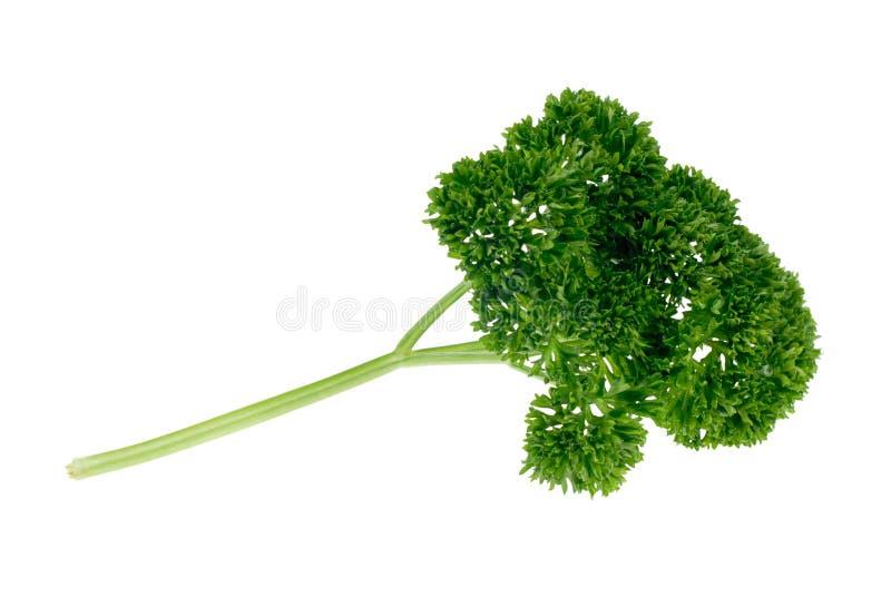 Parsley herb stock photos