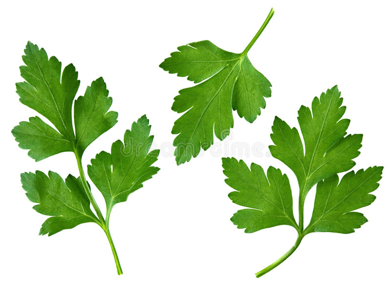 Parsley leaf royalty free stock image