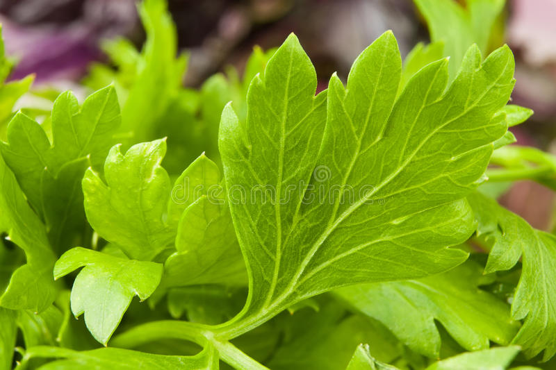 Download Parsley leaves stock photo. Image of shadow, freshness - 26636200