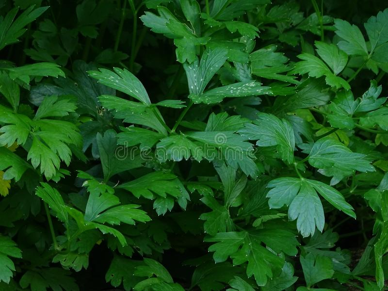 Parsley leaves. In the photo are parsley leaves. Everything is very green royalty free stock photo