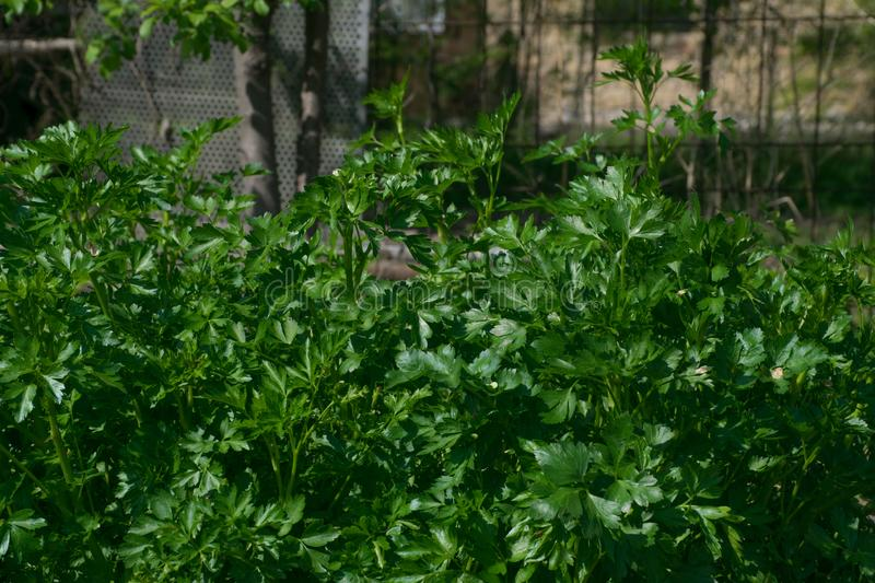 Parsley plants royalty free stock photos