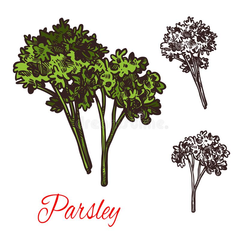 Parsley seasoning vector sketch plant icon. Parsley seasoning spice herb sketch icon. Vector isolated parsley plant for culinary cuisine cooking or flavoring royalty free illustration
