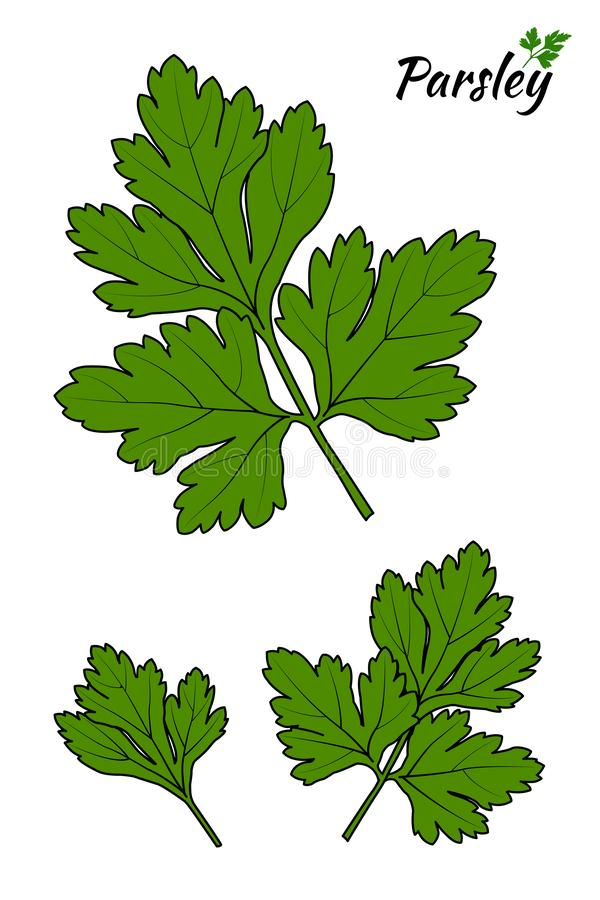 Parsley som isoleras p? vitbakgrund ocks? vektor f?r coreldrawillustration royaltyfri illustrationer