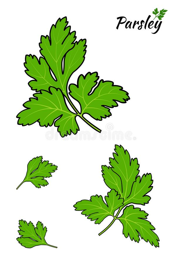 Parsley som isoleras p? vitbakgrund ocks? vektor f?r coreldrawillustration vektor illustrationer