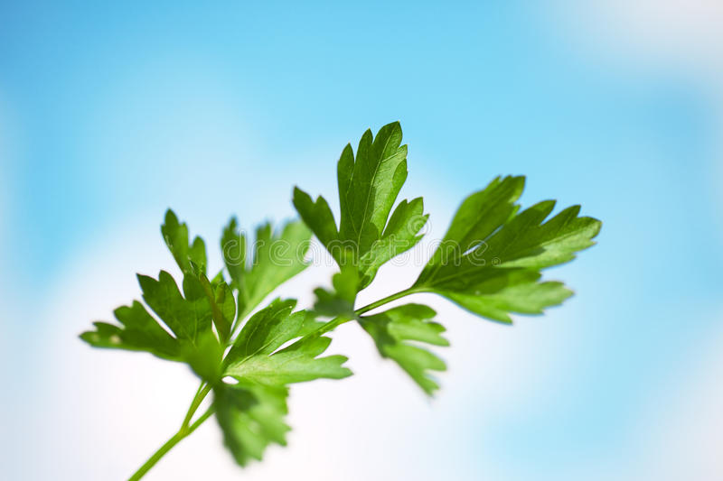 Download Parsley twig. stock photo. Image of natural, food, nature - 26475384