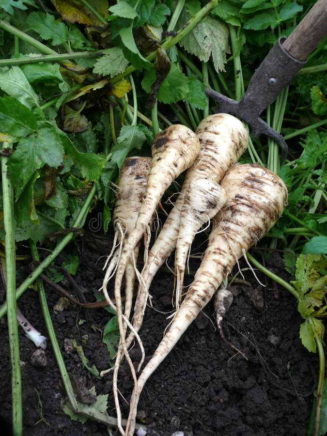 Free Parsnips Royalty Free Stock Photo - 6849665