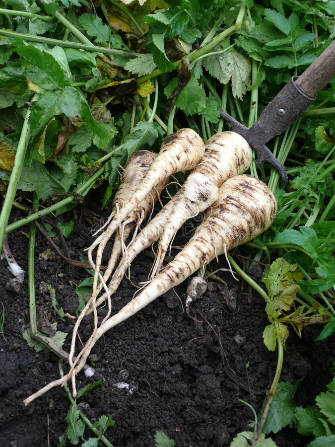 Free Parsnips Royalty Free Stock Photo - 6849785