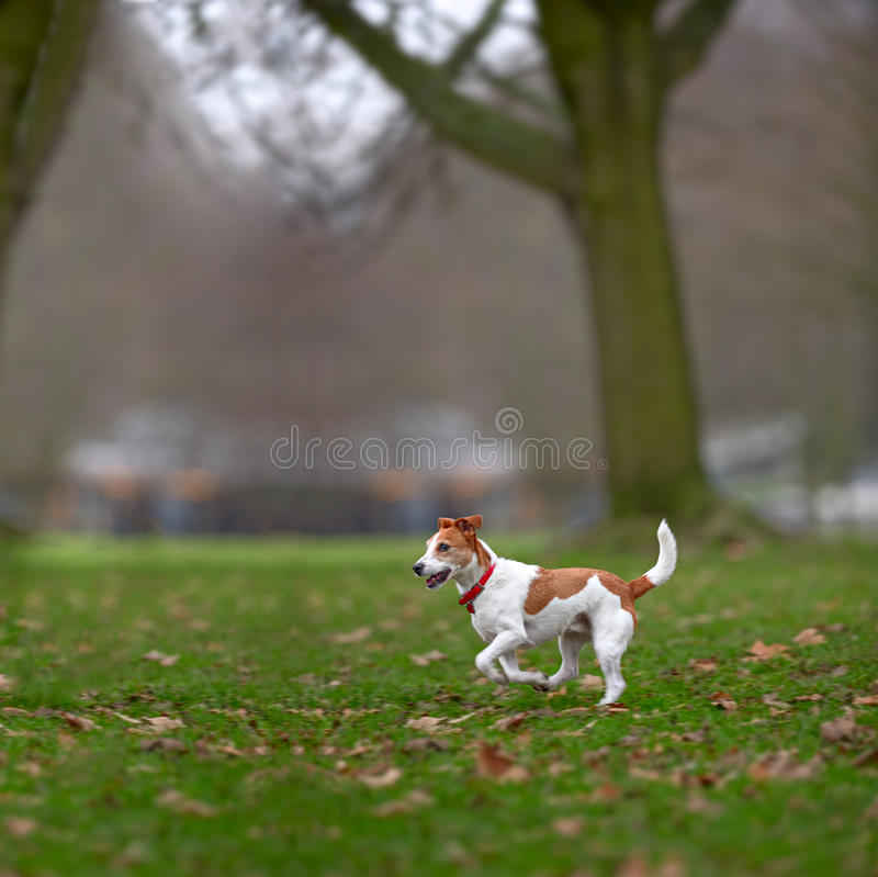 Parson Jack Russell enjoying run in park. Parson Jack Russell terrier enjoying a run in the park royalty free stock photo