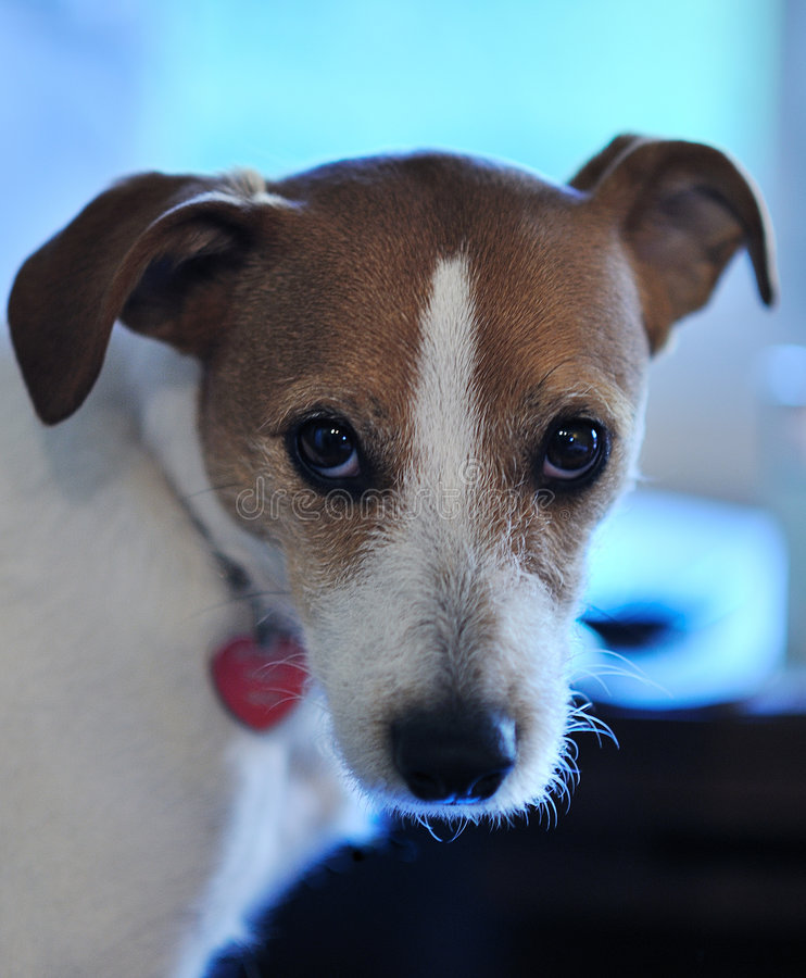 Parson Jack Russell portrait royalty free stock photos