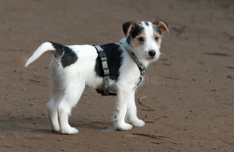 Parson Jack Russell puppy royalty free stock photography