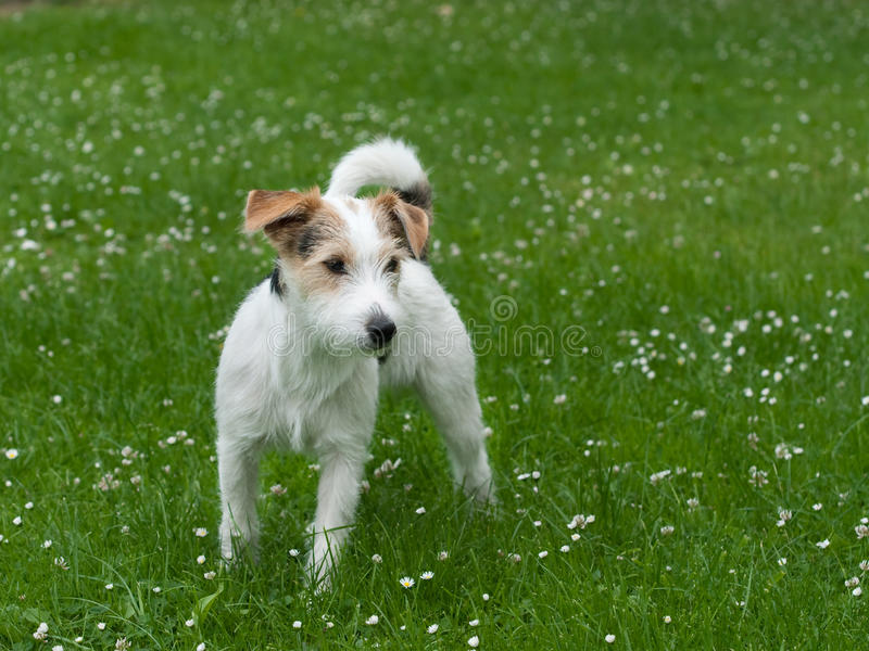 Download Parson Jack Russell Terrier Stock Photo - Image: 11684468