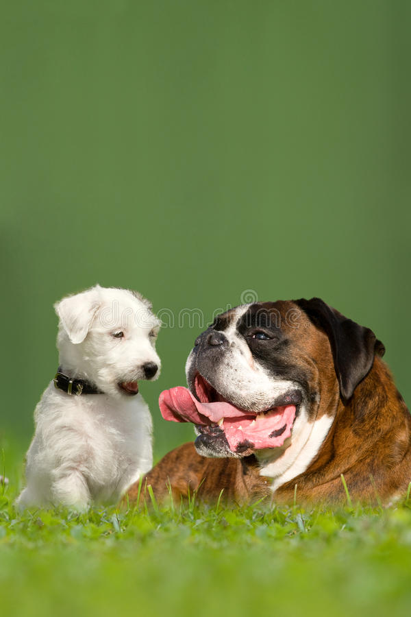 Parson Jack Russell Terrier and German Boxer. In meadow royalty free stock images
