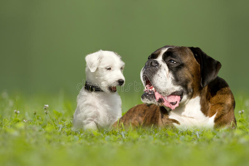 Parson Jack Russell Terrier and German Boxer. In meadow stock image