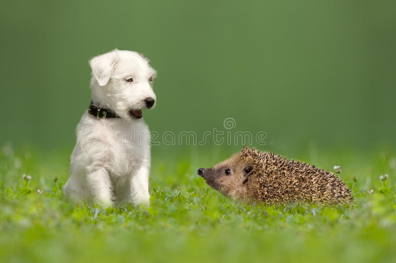 Parson Jack Russell Terrier and hedgehog. On meadow stock image