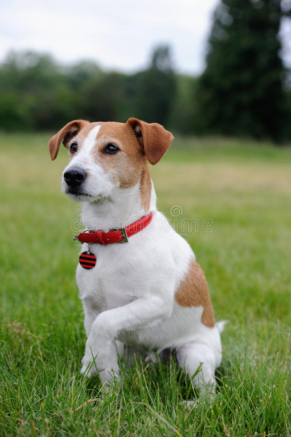 Parson Jack Russell Terrier offering his paw royalty free stock image