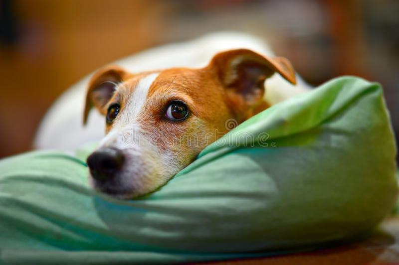 Parson Jack Russell terrier resting on his bed. With selective focus on eyes royalty free stock photography