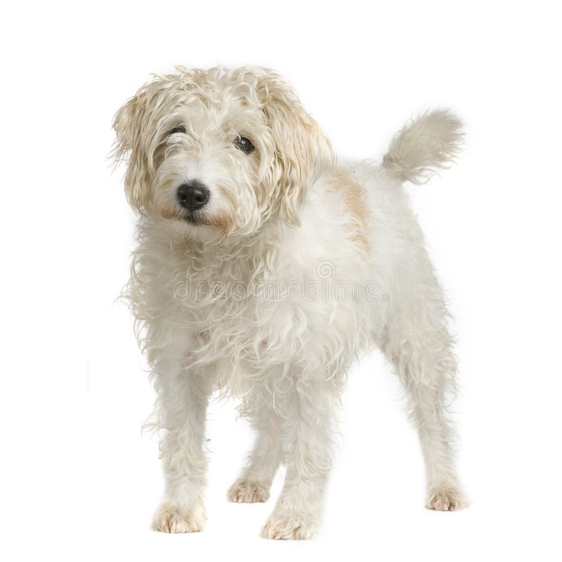 Parson Russell Terrier royalty free stock photo