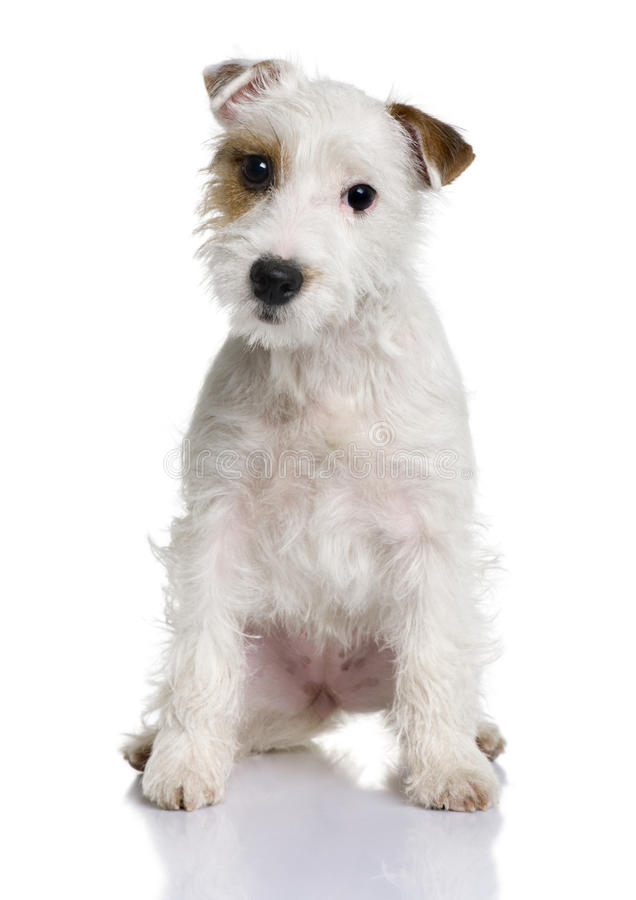 Parson Russell terrier puppy, sitting royalty free stock photo