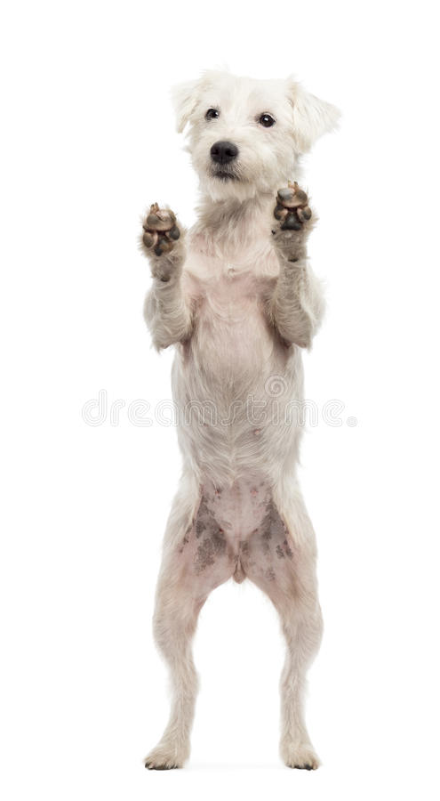 Download Parson Russell Terrier Standing On Hind Legs Stock Image - Image of glass, purebred: 28104619
