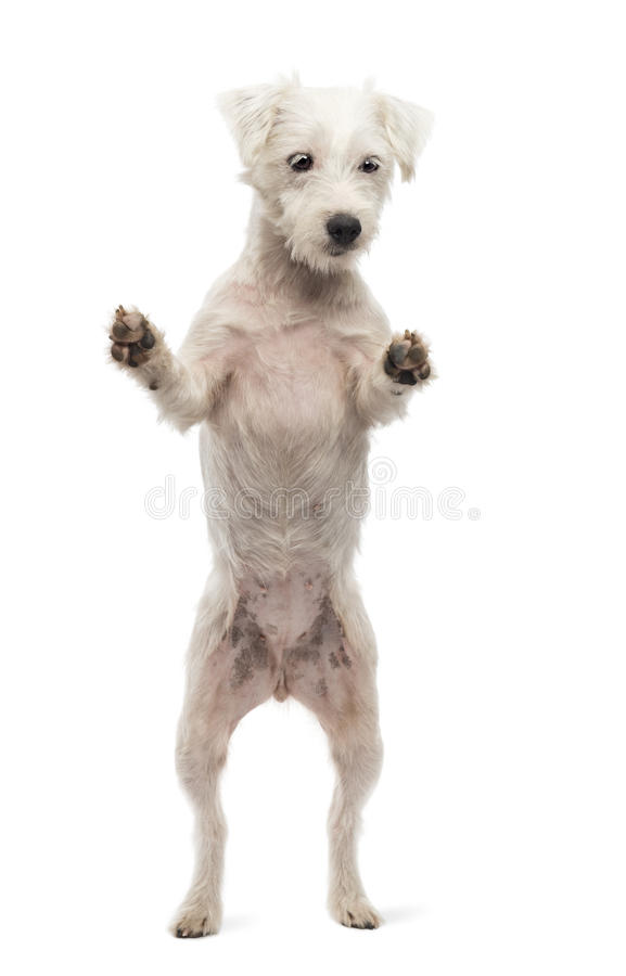 Download Parson Russell Terrier Standing On Hind Legs Stock Photo - Image: 28104628