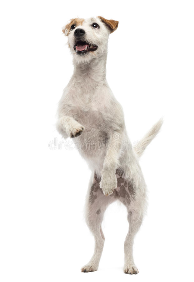 Parson Russell Terrier Standing On Hind Legs Royalty Free Stock Photos