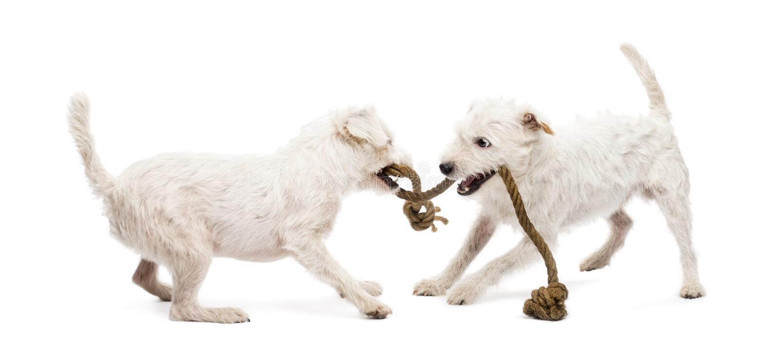 Download Parson Russell Terriers Playing With A Rope Stock Image - Image: 28104635