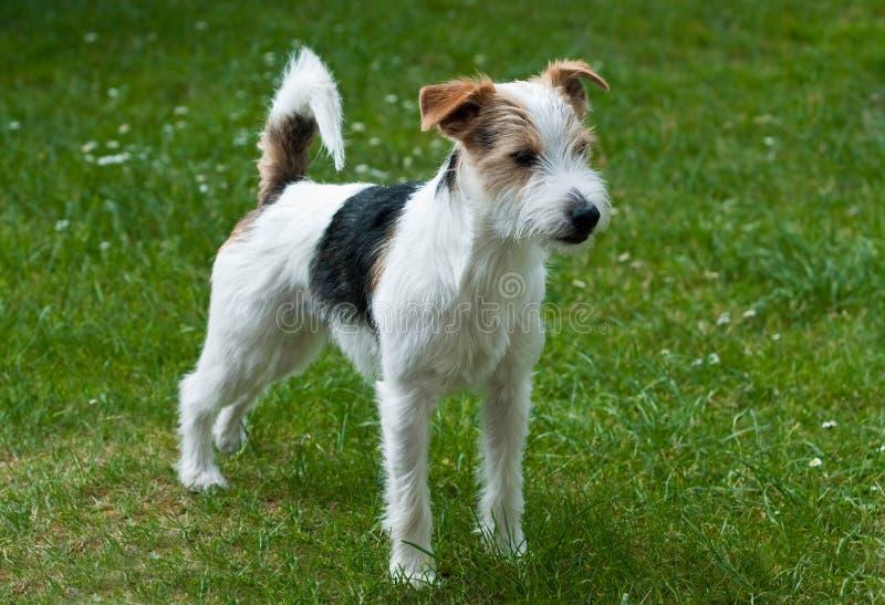 parsonrussell terrier royaltyfri fotografi