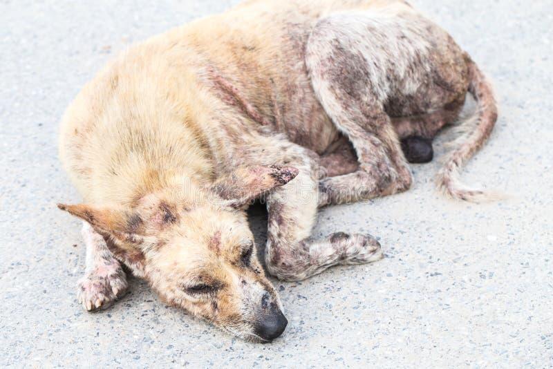 Parszywy, parchaty lub Lazarus psa lying on the beach zdjęcie royalty free