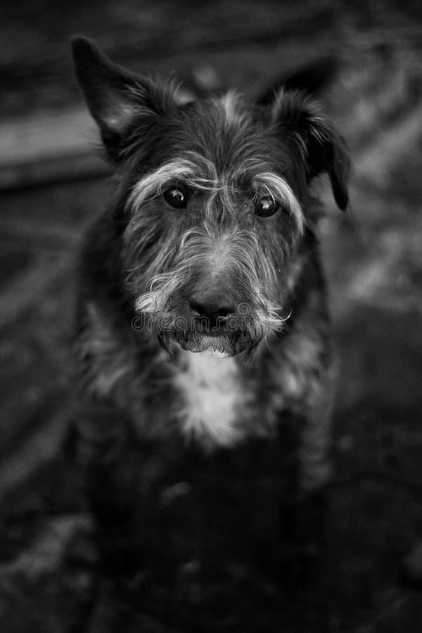 parszywy pies fotografia royalty free