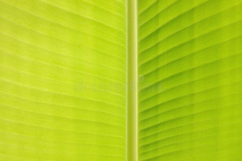 Part of banana leaf structure textured abstract background stock images