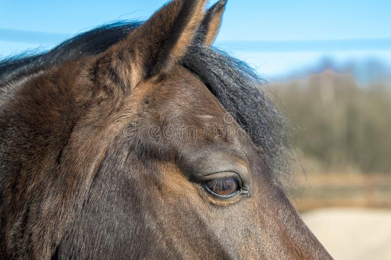 Part of horse head with eye. Part of brown horse head with eye stock image