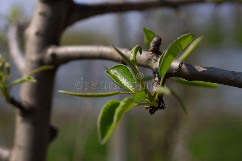 Part d'abord sur une branche d'un pommier photo libre de droits