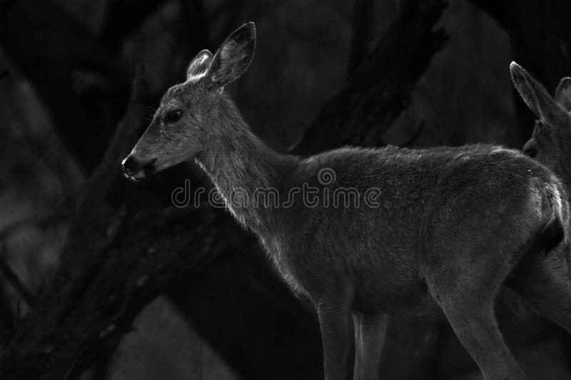 Calabasas California  young deer stock photos
