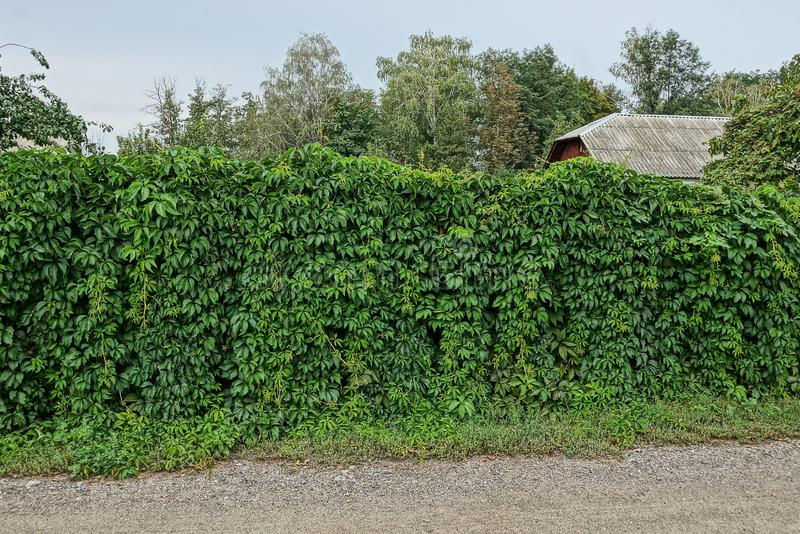 Part of a fence overgrown with green vegetation with leaves on the street stock images