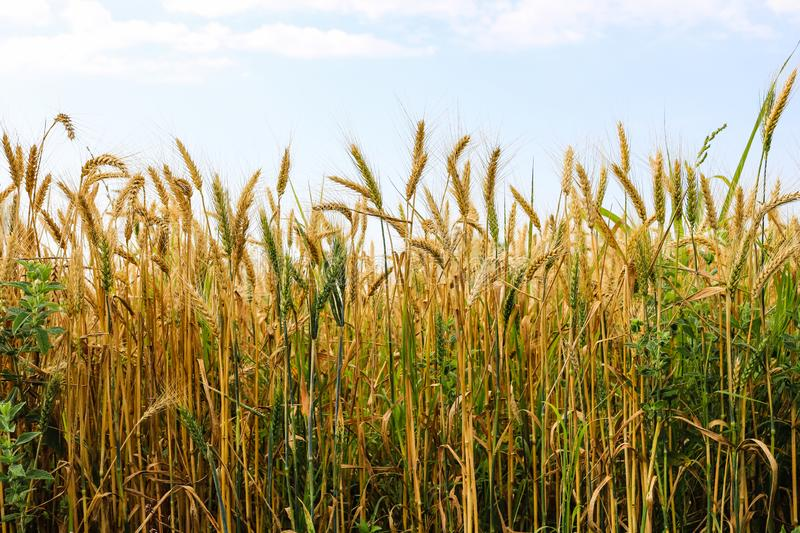 Part of golden wheat field on a sunny day stock image