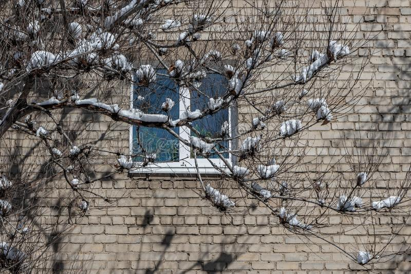 A part of gray brick wall of house with one window with plastic white frames and green plants and tomato seedlings inside and a. Gray tree with snow on branches royalty free stock photography